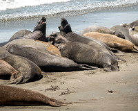 Elephants Seals